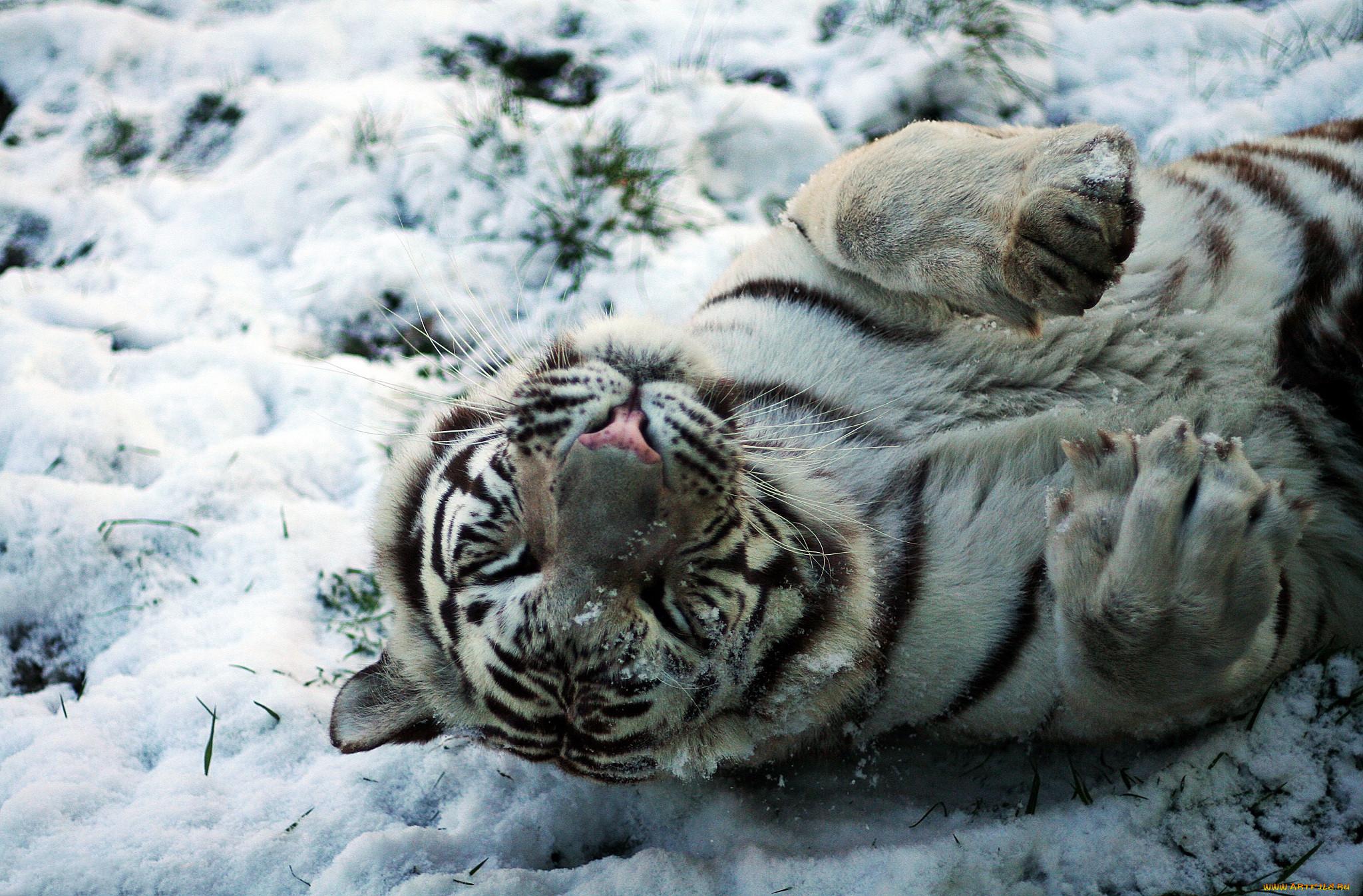 картинка тигр и снег отправить анимационные картинки